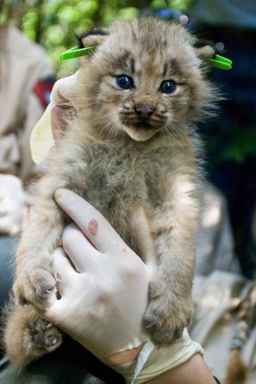 Καναδά, lynx, γατάκι, που πραγματοποιήθηκε