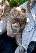 Kanada, lynx, kotě, ruce
