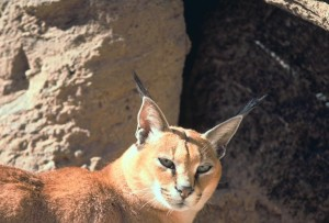 caracal, gatto