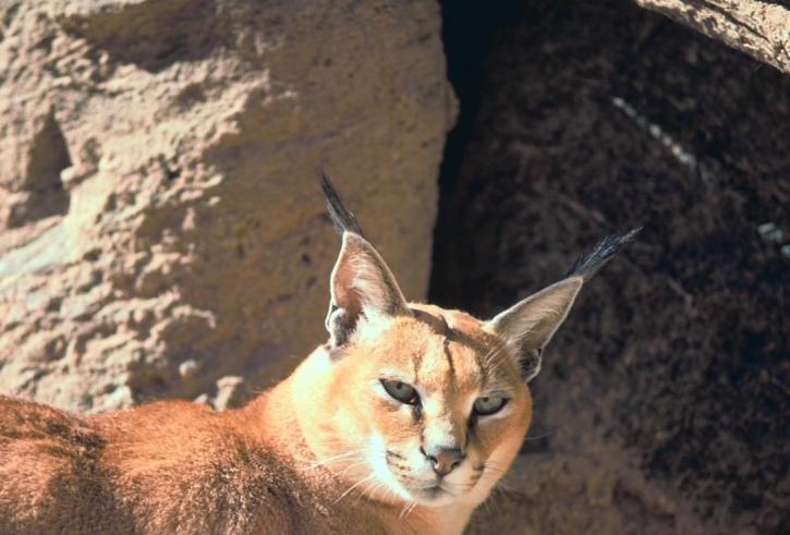 caracal, cat