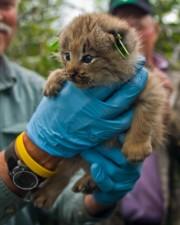 χαριτωμένο, μικρό, τον Καναδά, lynx, γατάκι, lynx, canadensis