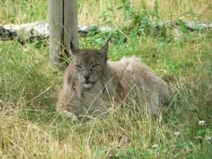 lynx, bobcat
