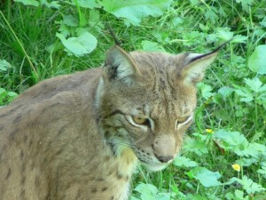 lince, gato, cabeza, animal