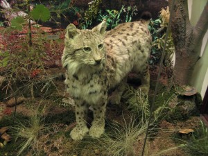 lynx, musée