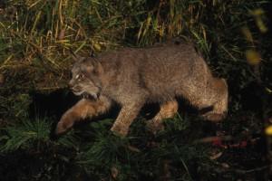 lynx, stalking, prey