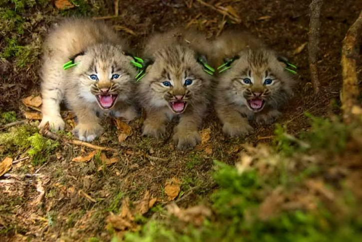 three, eartagged, Canada, lynx, kittens, lynx, canadesis