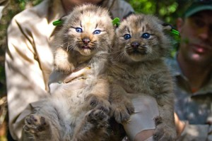 deux, mignon, Canada, lynx, chatons