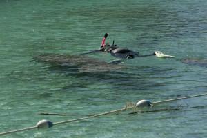 snorkeler, pláva, Florida, manatee