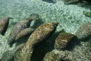 aquatique, mammifères, lamantin, trichechus, manatus, latirostris
