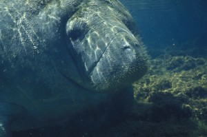 up-close, billede, manatee, under vandet