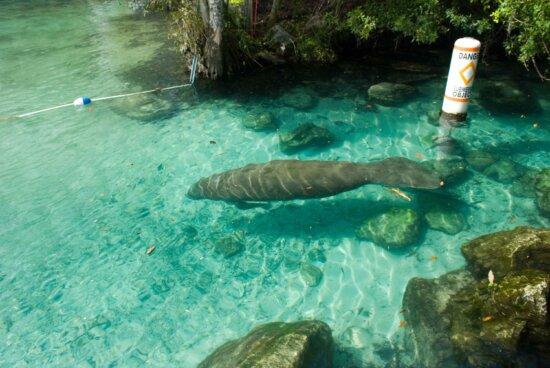 endangered, Florida, manatee