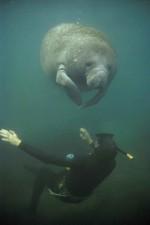 海牛, 潜水员