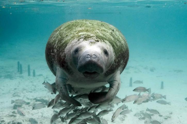 manatee, fishes, underwater, photo