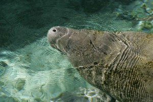 Manatee, dyr, up-close, hoved