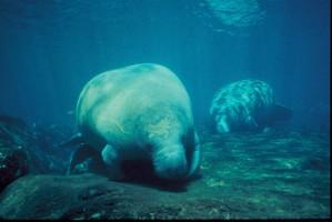 manatee, marine mammals, underwater