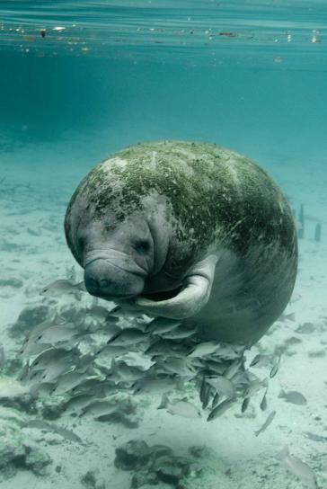 manatee, trichechus, manatus, latirostris, up-close, underwater, photo