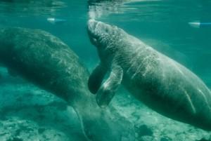 manatees, swimming