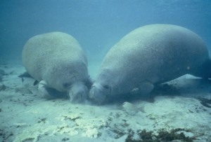 two, manatee, rooting, food, bottom, sand