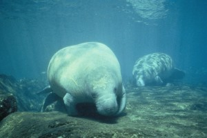 two, west, Indian, manatee, trichechus, manatus, foraging, food