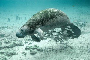 underwater, photography, fish, manatee
