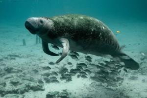 underwater, photography, mammal, manatee