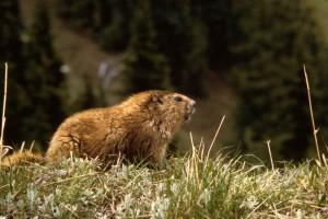 bir sıçan, hayvan, marmota