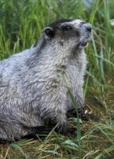 marmot, mammal, animal