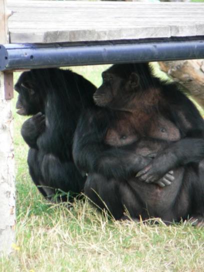 Čimpanze