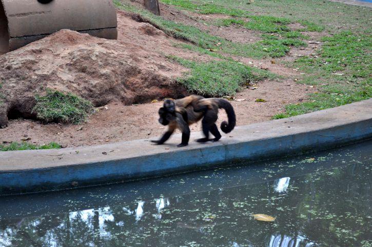 Laki-laki, monyet, cub, kembali, berjalan