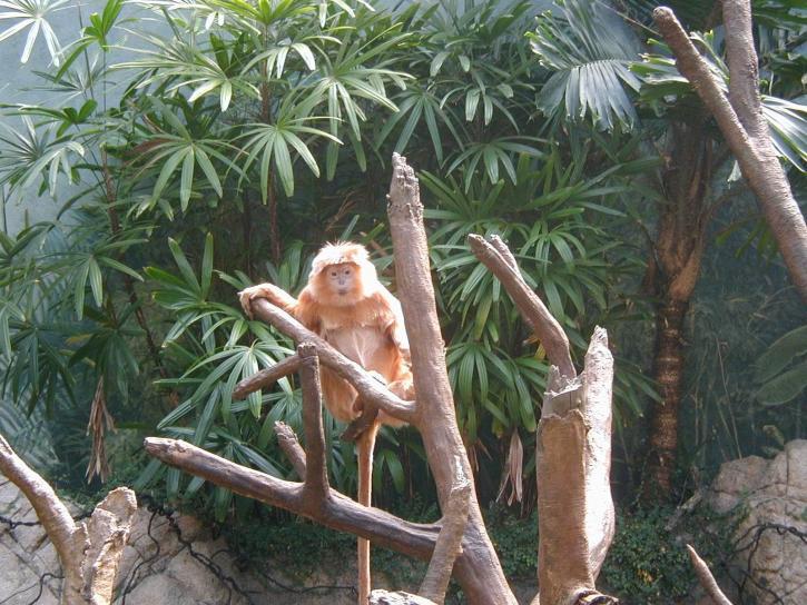 legrační, opice