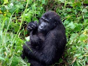 gorilla, tropiske, regnskov