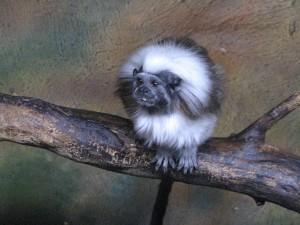 малко, маймуна