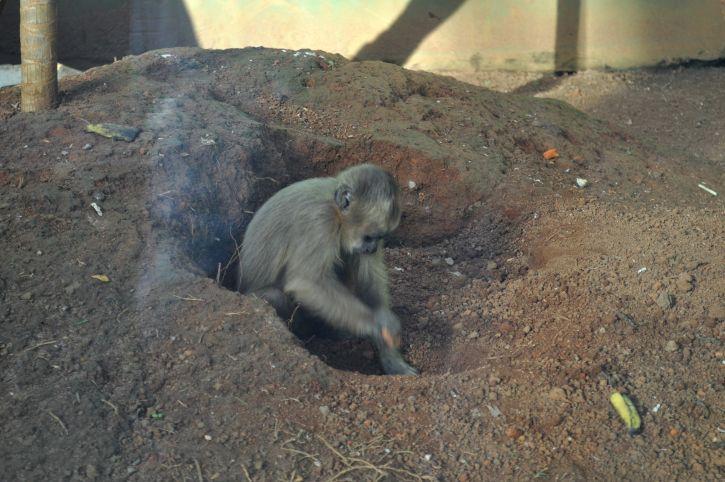 monkey, digs, earth