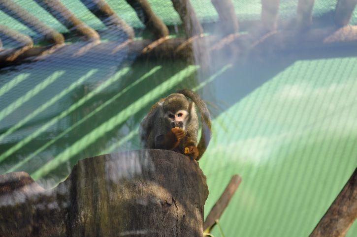 Мавпа, зоопарк, їдять фрукти