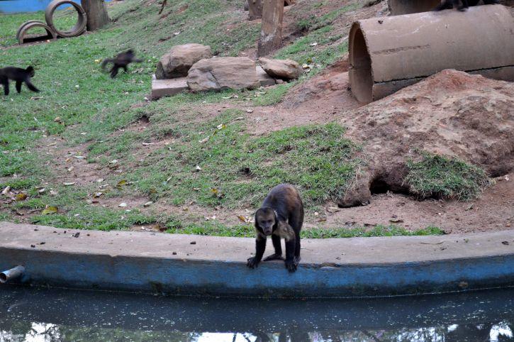 маймуна, банка, басейн