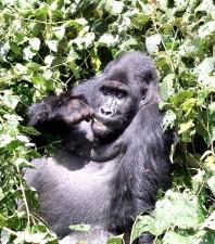 bjerg gorilla, gorilla, beringei, beringei, Kaluzi, Biega, reserve, beskyttelse