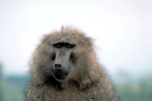 маслини, маймуни, животно, павианите, Анубис