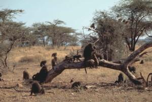 oliviers, des babouins, des primates, papio, anubis