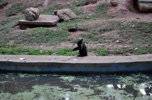đĩa đơn, khỉ, vườn thú