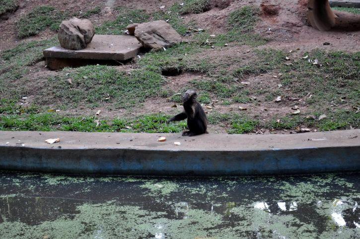 единични, маймуна, зоопарк