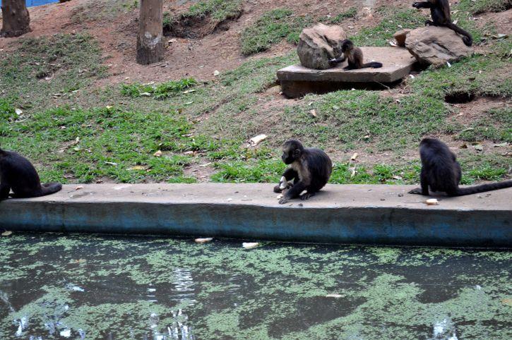 мавп, банки, басейн, зоопарк