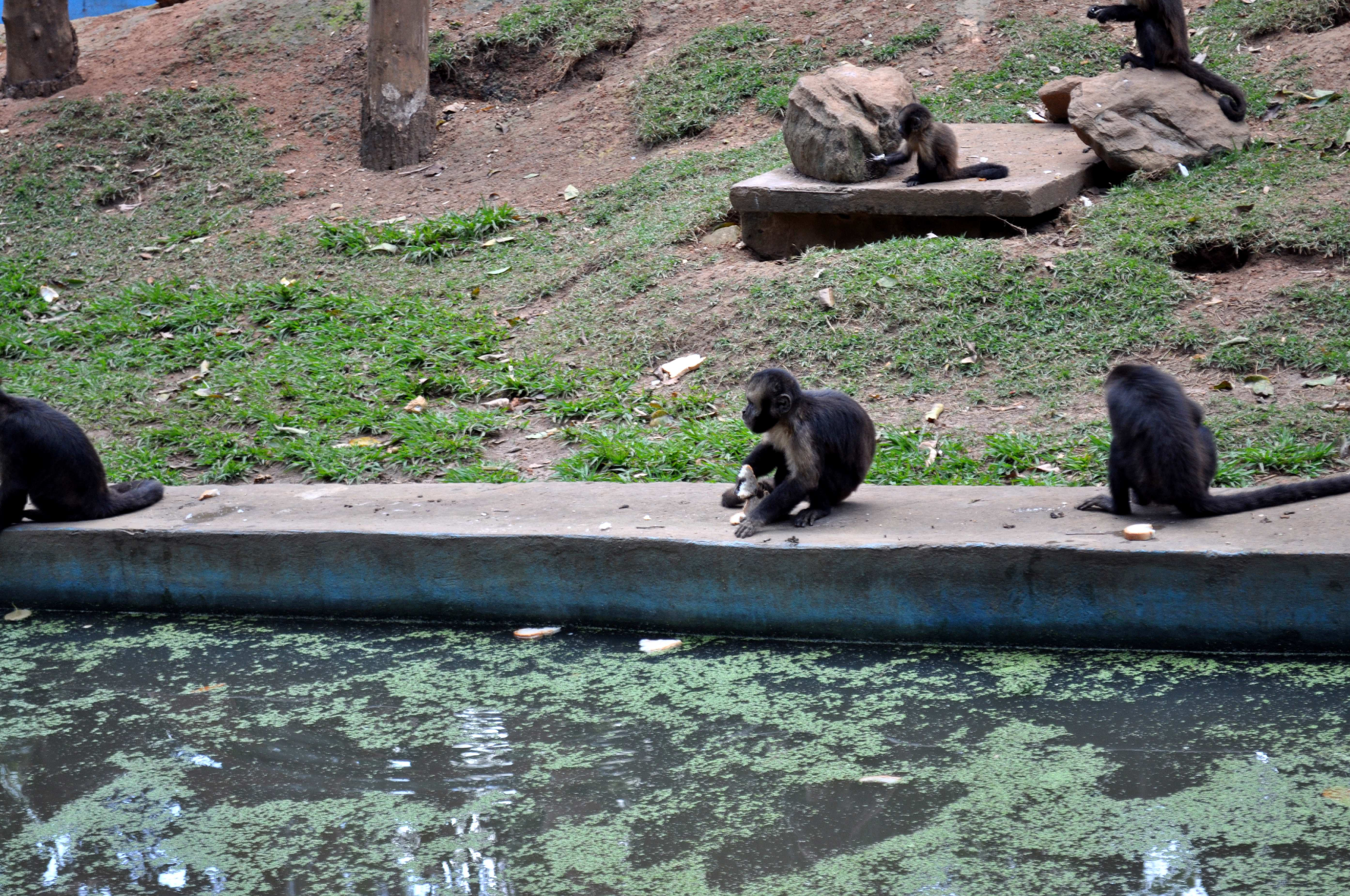 Free photograph; monkeys, banks, pool, zoo