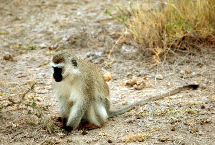 vervet, scimmia, Chlorocebus, pygerythrus