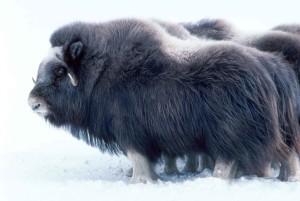 groß, Säugetier, Moschus