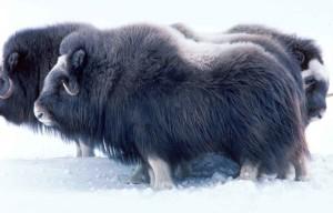 pižmo, savci, Aljaška