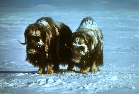 musk, oxen, animals, snow, ovibos moschatus