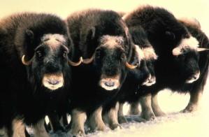 Moschus, Rinder, Säugetiere, ovibos, Moschatus