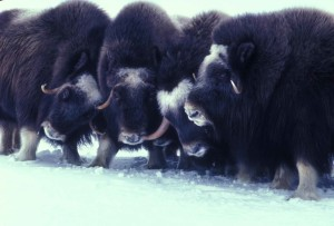 muskox, animals, Arctic, mammals, ovibos, moschatus