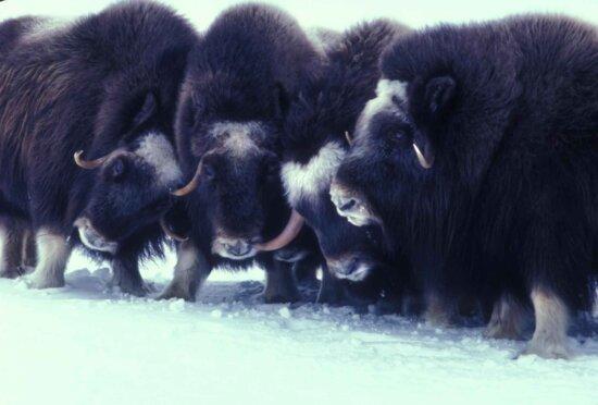 muskox, animals, Arctic, mammals, ovibos moschatus