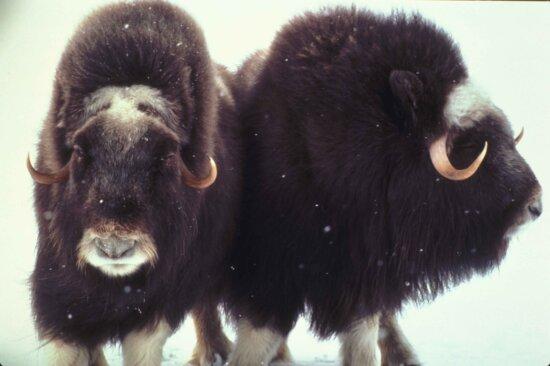 muskox, snow, Alaska